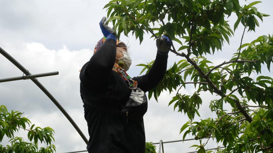 남성직원이 사다리에 올라가서 높은 곳의 알솎기를 하는 모습인데, 상반신만 찍은 모십입니다, 날씨도 무더운데 코로나로 인하여 마스크도 쓰고 작업중입니다.