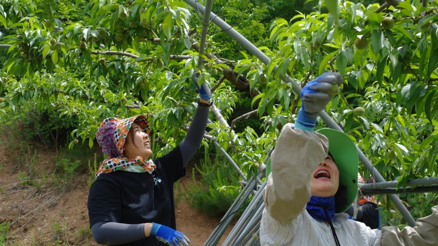 두명의 여직원이 알솎기를 하고있는 습인데, 입가에 미소를 머금고 덥지만 즐겁게 일하는 모습입니다.