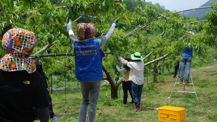 5명의 직원이 복숭아 나무마다 붙어서 알솎기 일을 하고 있는 사진입니다.